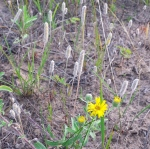 sandy area with many light brown flower stalks, and three yellow flowers in the front