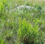 grassy area with many other green plants, and a large rock in the background