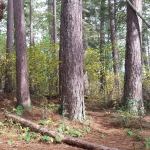 a needle-lined path through the trunks of 8 red pines